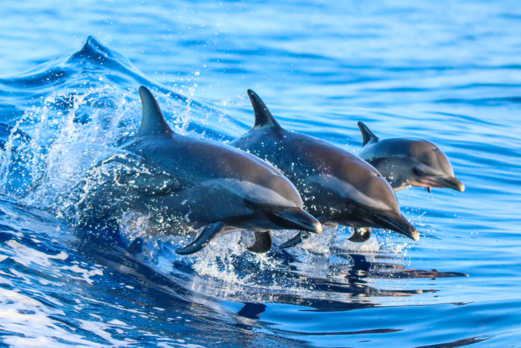 It's amazing to watch spinner dolphins propel themselves out of the water