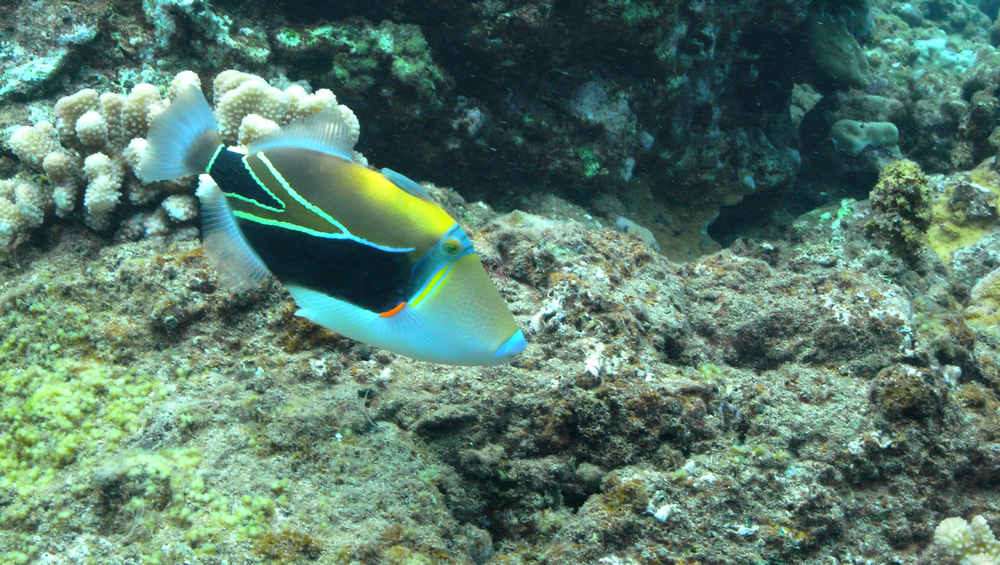 Hawaii's state fish has a vibrant contrast of colors