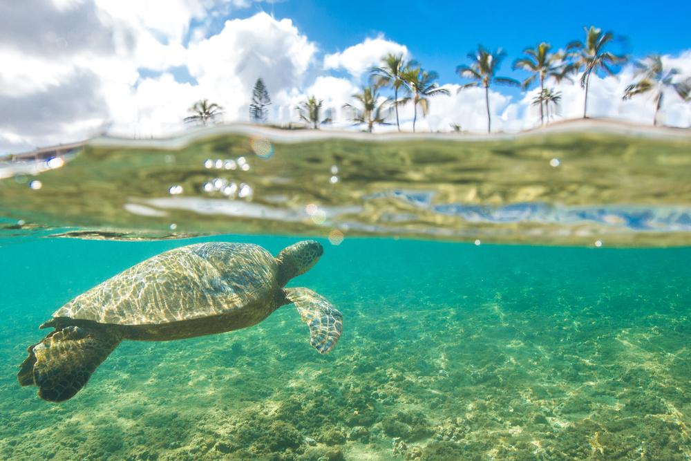 See Hawaiian green sea turtles on a snorkel cruise